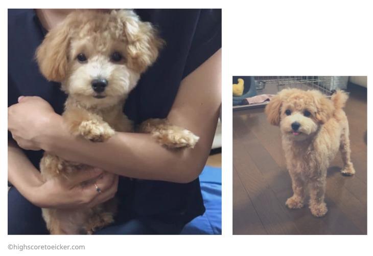 マルプー (子犬から成犬の体重推移)
